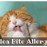 Flea Bite Allergy